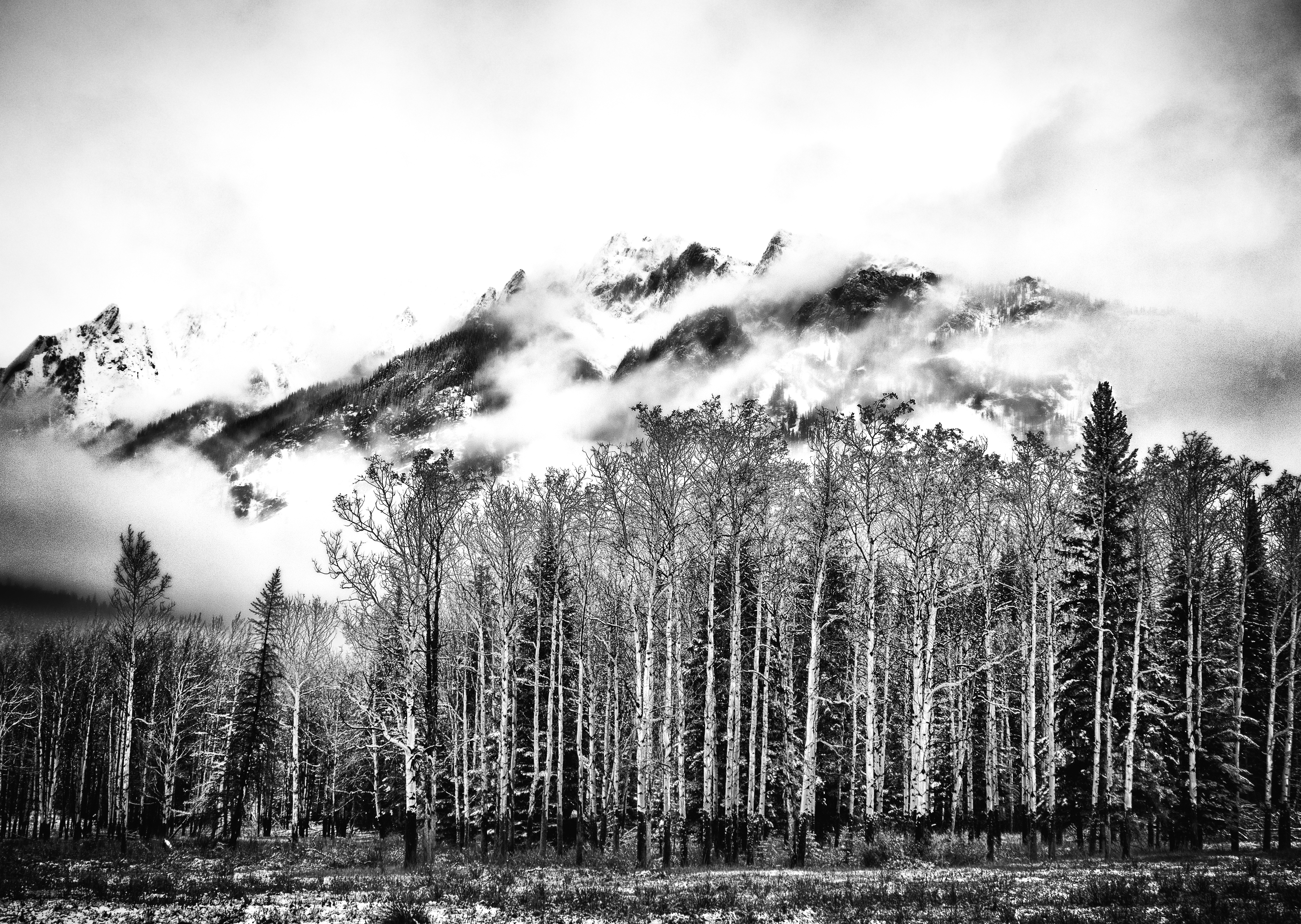 Black and white image with birch trees and mountains
