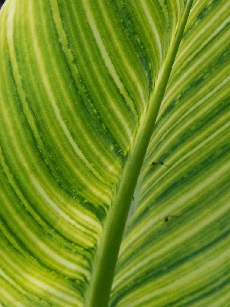 A closeup shot of a leaf with dark and light green stripes