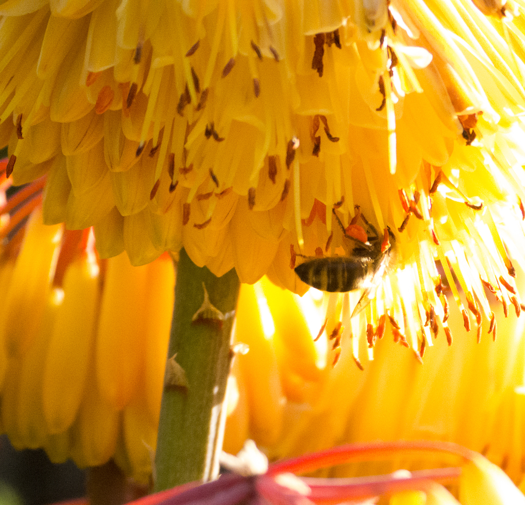 A bee forages for pollen on a bright yellow aloe flower