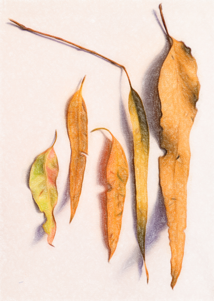 Gum leaves - pencil
