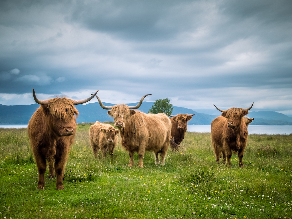 5 highland cows with scenic background